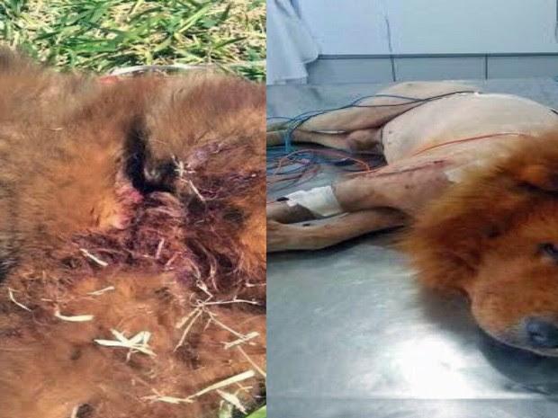 Leão quando foi encontrado, na Estrutural, e depois no hospital veterinário. (Foto: Carolina Morais/Arquivo Pessoal)