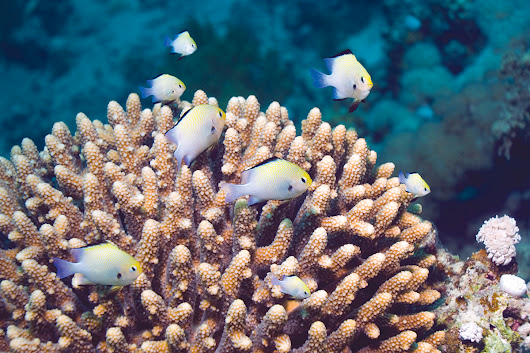 Fish boost photosynthesis by wafting water around corals