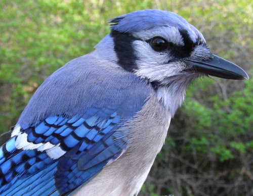 Migration Research Foundation Mcgill Bird Observatory Photo