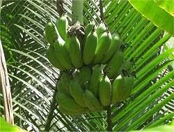 Brasileira cria macarrão com farinha de banana verde sem glúten