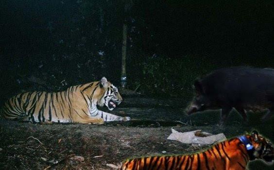 Heboh... Manusia Ini Berubah Jadi Babi Harimau dan Anjing