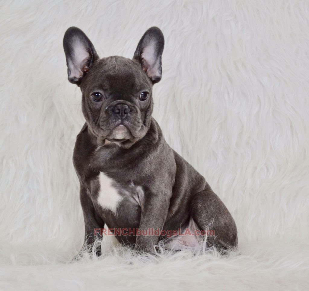 Buy French Bulldog Puppies For Sale In Russia