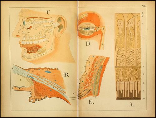 atlas anatomie enfant 09 Atlas anatomique pour écoliers en 1879  information histoire design