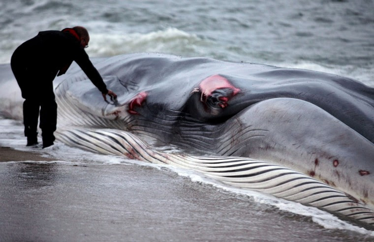 A rescuer examines a female fin whale, which lies alive and stranded on the beach at Carlyon Bay on August 13, 2012 in St Austell, England. (Matt Cardy/Getty Images)
