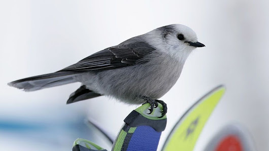 Canada Is Agonizing About Choosing A National Bird
