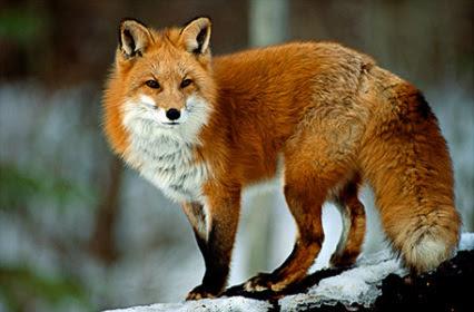 Resultado de imagen para fox