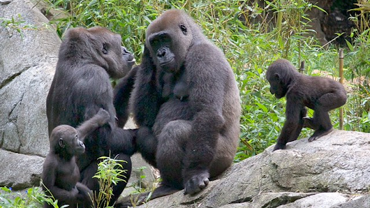 NC Zoo Gorillas To Stay,  Zoo To Add More Gorillas
