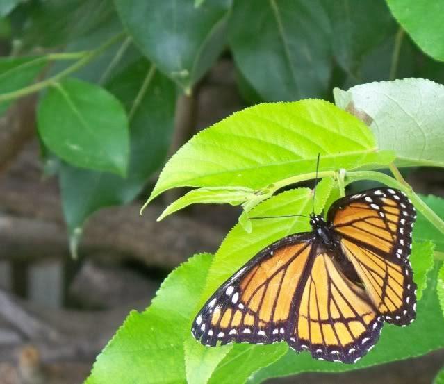 A female Monarch butterfly (Danaus plexippus)