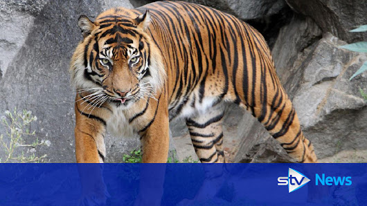 Female zoo-keeper killed by tiger at Hamerton Zoo