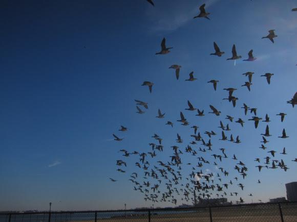 Ed Gaillard: recent &emdash; Brant taking off over Randall's Island