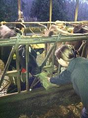 Me Feeding a Cow