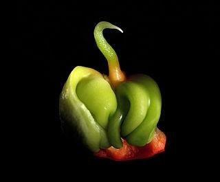 Baby Bell pepper ''Capsicum annuum'' .jpg