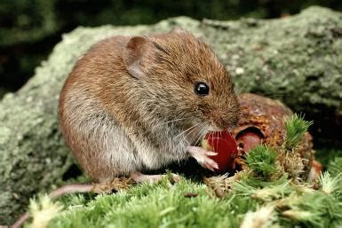 Gardening Tips: Controlling Moles and Voles in the Landscape   North Carolina Cooperative Extension