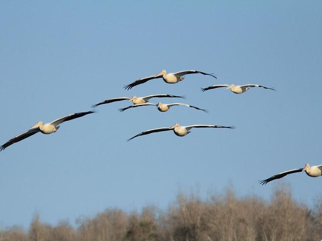 American White Pelicans arriving 20121201