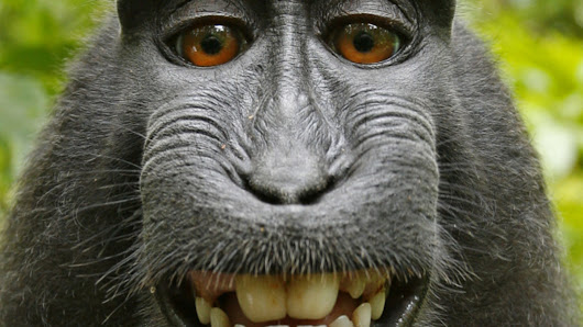 Wikimedia denies photographer's claim to a monkey's selfie