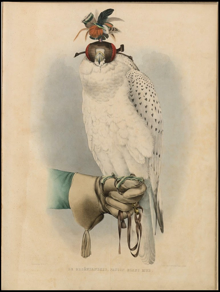 chromolithograph of Hooded falcon perched on handler's gloved hand, by H Schlegel, 1853