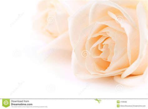 Beige Roses Background Stock Photography   Image: 4196382
