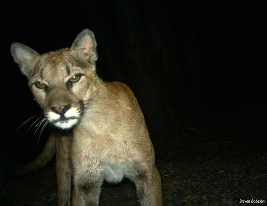 Mountain lion takes small dog from Bay Area bedroom