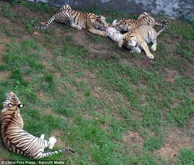 Vicious attack: Horrified visitors said they could not see meat anywhere and the tigers looked hungry