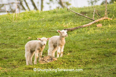 Twin Lambs in a Spring Pasture, Sauk County, Wisconsin