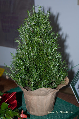 New Rosemary Bush (Rosmarinus Officinals)-1
