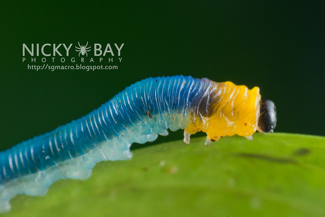 Sawfly larva (Symphyta) - DSC_9700