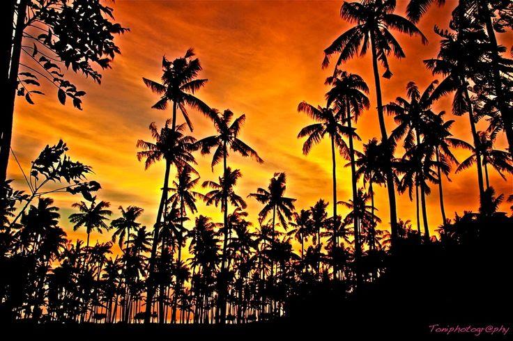 Coconut trees , Lombok,  Bali, Indonesia