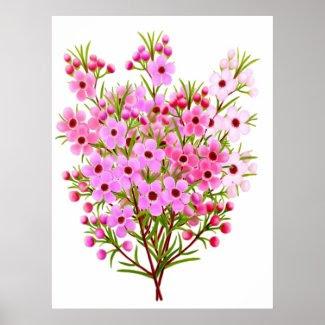 Australian Waxflower Bouquet Poster print