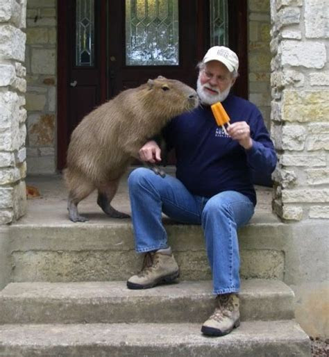 Capybara Facts, Diet, Habitat, Lifespan, as Pets, Pictures