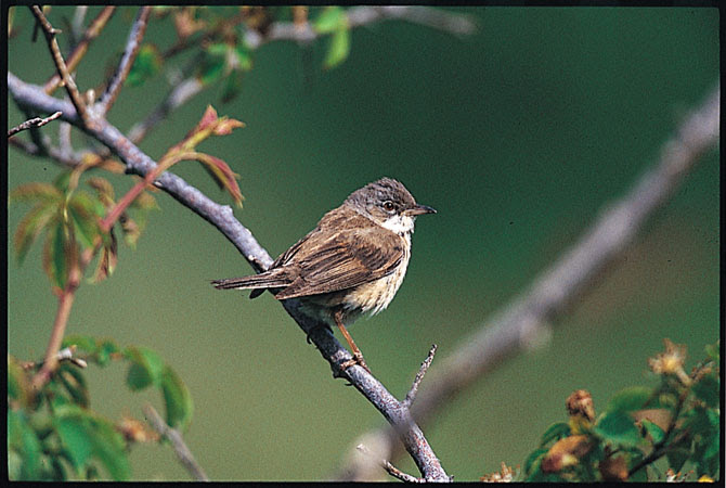 White throated sparrow bird graphics