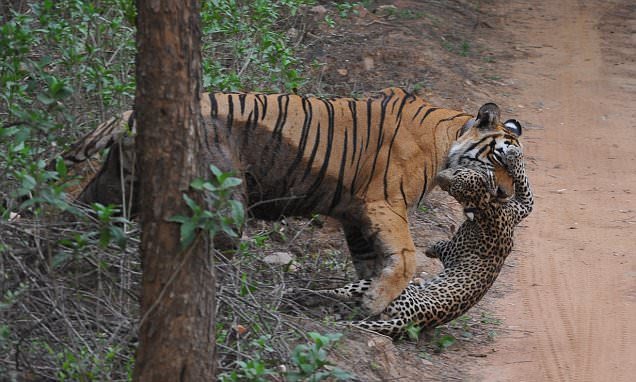 Dramatic video captures tigress and leopard in a brutal battle to the death in Rajasthan