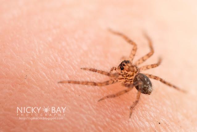 Huntsman Spider (Sparassidae) - DSC_2018