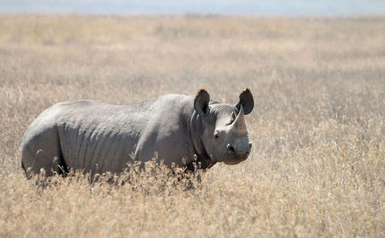 A Moment of Silence for the Western Black Rhino