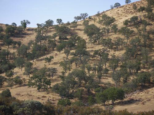 blue oaks