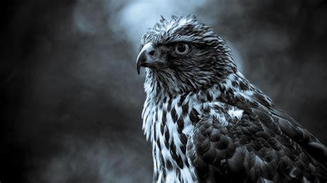 eagle birds  hd wallpaper media file pixelstalknet