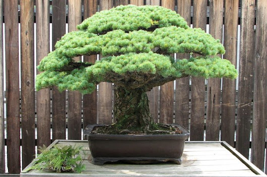 This 392-Year-Old Bonsai Tree Survived the Hiroshima Atomic Blast & Still Flourishes Today: The Power of Resilience