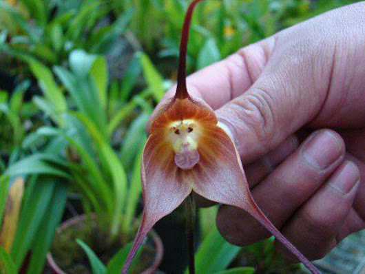 www.incrediblethings.com/wp-content/uploads/2012/06/monkey-orchid-2.jpg