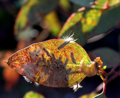 more caterpillars