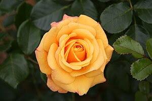 Rose Amber Flush 20070601.jpg