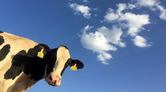 Beware of cows in your life - Kevin Pokorny Consulting