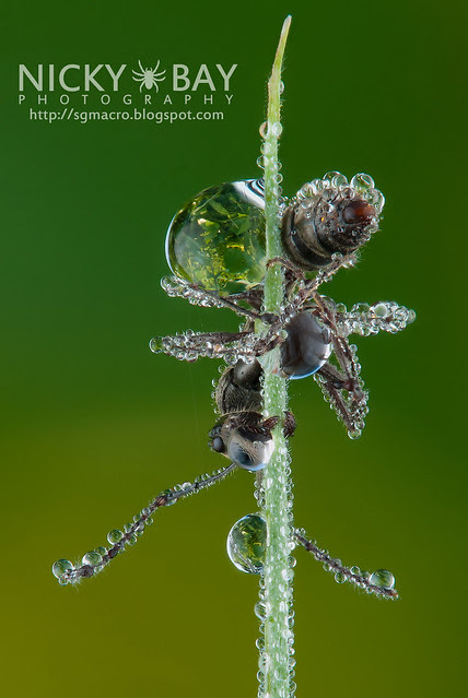 Ant in Morning Dew (Formicidae) - DSC_7548