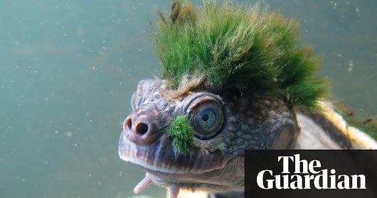 Green-haired turtle that breathes through its genitals added to endangered list | Environment | The Guardian