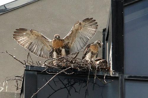 alewife hawks 083