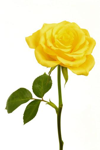 黄色 バラのスマホ壁紙 検索結果 1 画像数1529枚 壁紙 Com