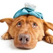 Dog Flu - Canine Influenza Symptoms, Treatment And Prevention