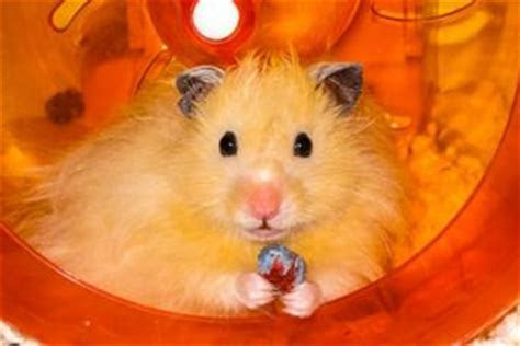 Hamster Breeds   LoveToKnow