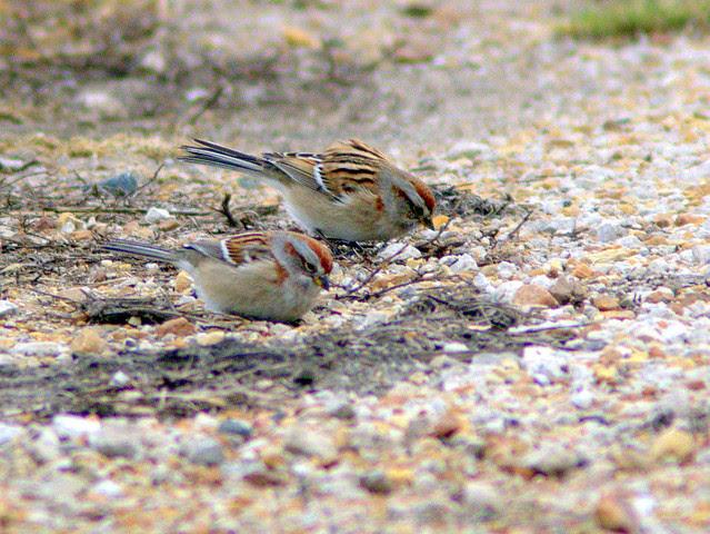 American Tree Sparrows 2-20130110
