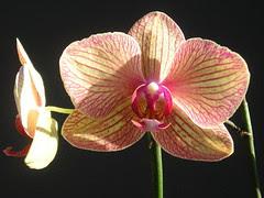 Phalaenopsis Baldan's Kaleïdoscope 'Golden Treasure'