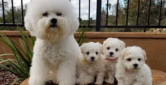 So You Want a Bichon Frise. Find out more.