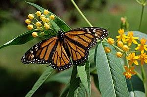 Photograph of a female Monarch Butterfly en ( ...